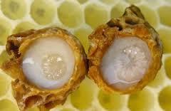 sữa ong chúa ở tổ ong