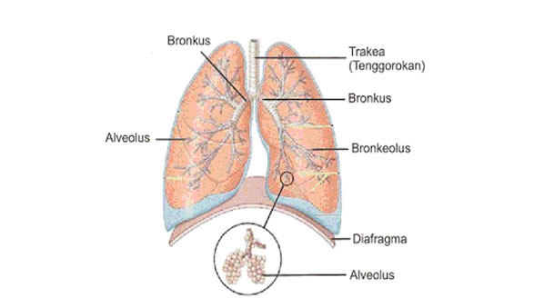 Fungsi Paru paru sebagai alat Ekskresi Pada Manusia
