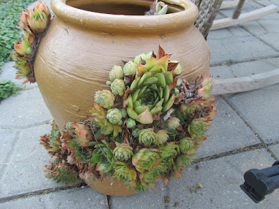 Hens and Chicks great to grow in a drought!