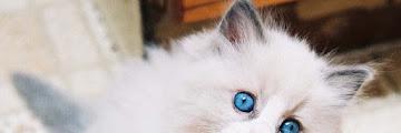 5 Hal Penting yang Perlu Dillakukan dalam Merawat Anak Kucing Anggora