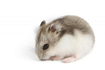 nguồn gốc hamster campbell