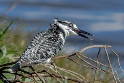 Close Encounter with Pied Kingfisher in the Table Bay Nature Reserve Image 2 / 2