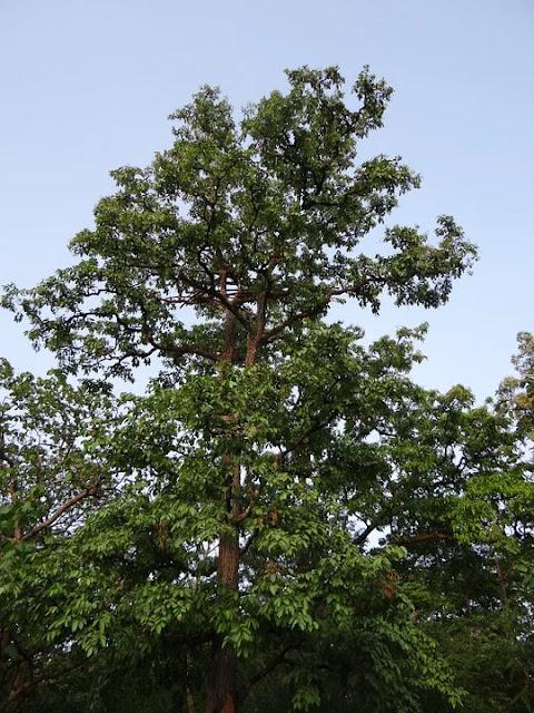 arjun chaal , arjun tree, arjun chaal powder, arjun chaal price