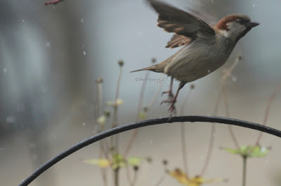 "This photo features a male house sparrow ""jumping"" off a bracket that supports a feeder in my garden.  A web-page (@ https://www.thespruce.com/house-sparrow-387273) for this bird type describes this bird type by saying, ""Male and female house sparrows look distinctly different. Males have a black chin and bib, white cheeks, and a rust-colored cap and nape of neck. The black on the chin and breast can vary widely, with older, more dominant males showing more extensive black. The underparts are pale grayish, and the back and wings show brown and black streaking. The rump is gray. Males also have a single white wing bar. Females are plainer, with a broad buff eyebrow and brown and buff streaks on the wings and back. On both genders, the legs and feet are pale and the eyes are dark. Overall, both males and females have a stocky appearance. Juveniles resemble adult females but with less distinctive markings and a less defined eyebrow.""  House sparrows are featured in my book series, ""Words In Our Beak."" Info re my books is in another post on my blog @  https://www.thelastleafgardener.com/2018/10/one-sheet-book-series-info.html"
