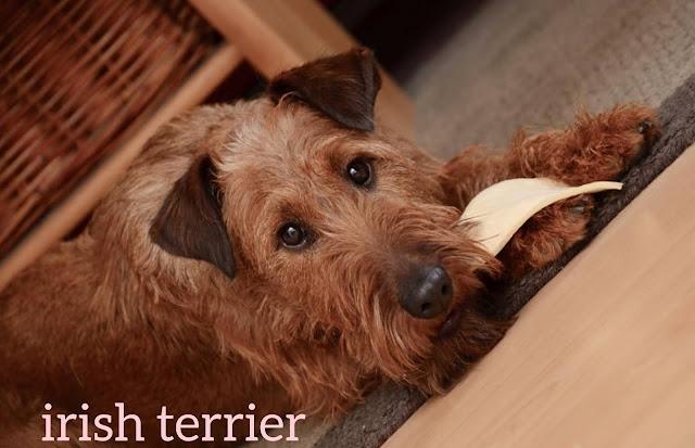 gray irish terrier