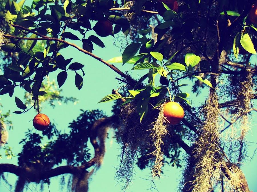 The natural orange groves of Florida in Hammock Park, Dunedin, Florida