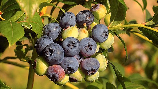 manfaat-blueberry