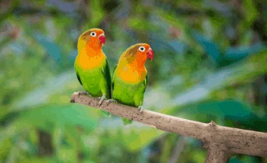 cara memaster lovebird untuk hasil maksimal