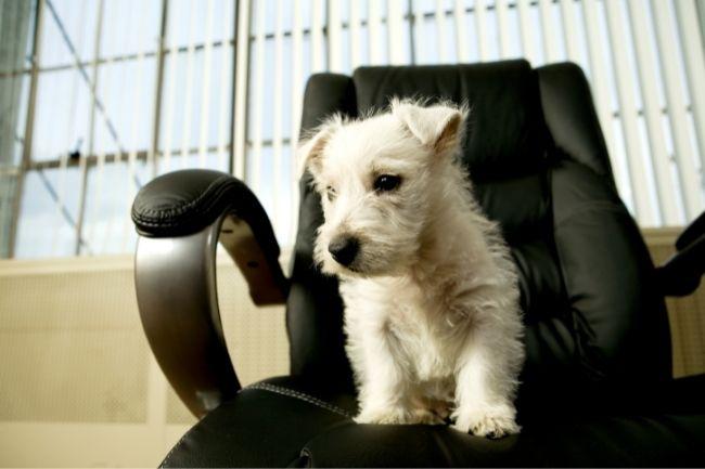 Um cachorro muito bonito sentado em uma das melhores cadeiras de escritório