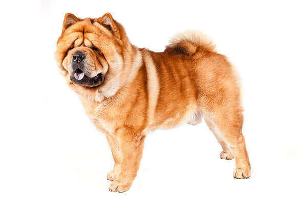 CHOW CHOW Dog BREED PRICE temperament tongue mix white  mini blue what does look like