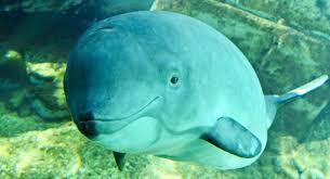 Soluciones salvar vaquita marina