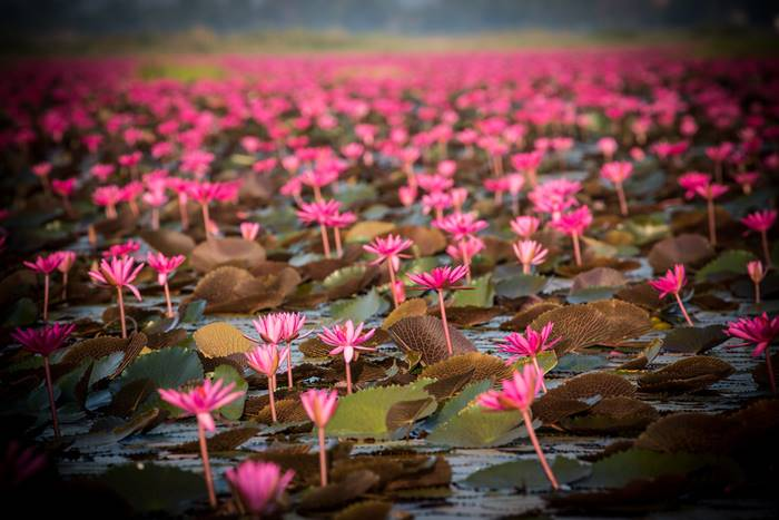 Red Lotus Sea in Udon Thani: Floating on the Lake with a Million Pink Lotus Flowers
