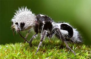 hewan unik langka semut panda