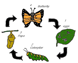 Life Cycle of Butterfly in Hindi