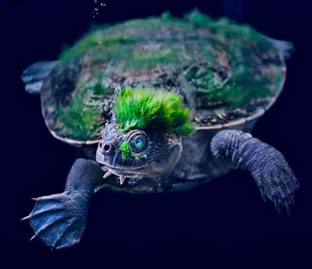 Mary river turtle – Elusor macrurus