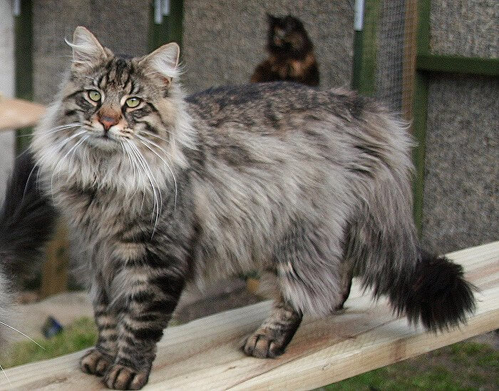 Baka kucing MAINE COON
