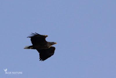 Pigargo europeo - White-tailed eagle - Haliaeetus albicilla. El pico es extremadamente grueso y destaca mucho por su color amarillo anaranjado, al igual que su cola de color blanco.