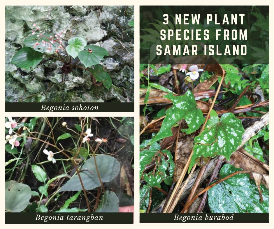 Newly discovered species of Begonia from Samar Island