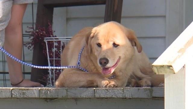 Un perro desaparecido por días caminó hacia su hogar anterior