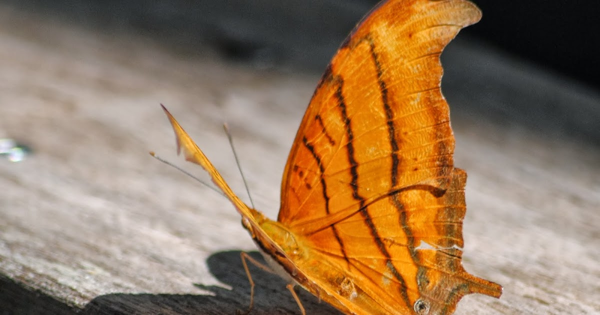 Field Notes And Photos Ruddy Daggerwing Marpesia Petreus