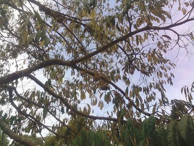 Penyebab Bunga Durian Sering Rontok