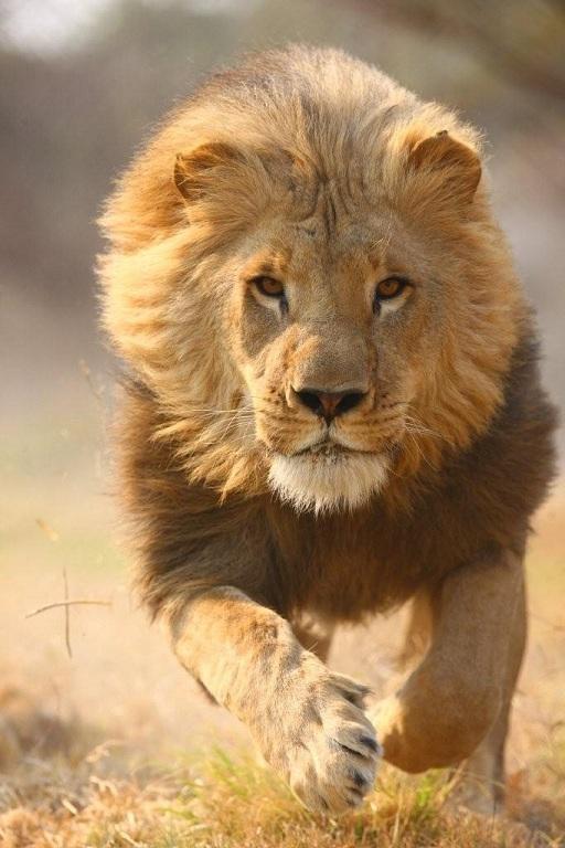 Full Drawings Lion Male