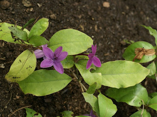 Faux éranthème pourpre - Pseuderanthemum laxiflorum