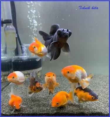 Cara merawat ikan koki tanpa oksigen / aerator