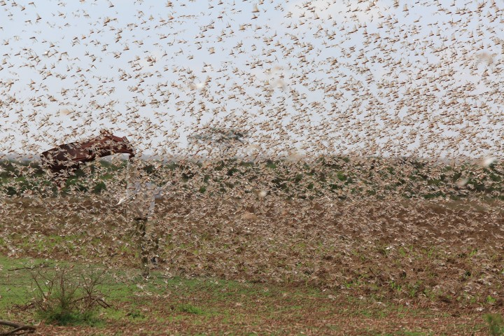 TBW: The biggest locust plague in more than 25 years hits ...