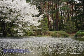 桜と水面に浮く一面の花弁の写真