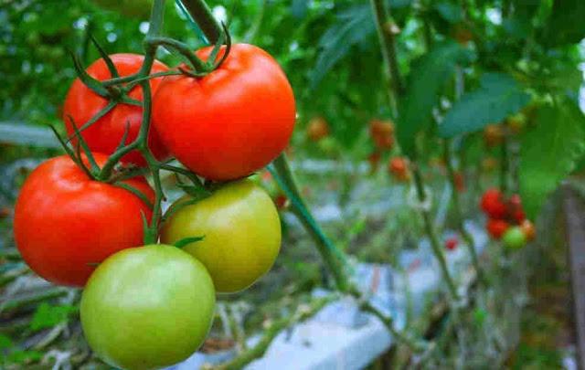 Cara Mudah Menanam Tomat Yang baik Secara Organik Bagi Pemula