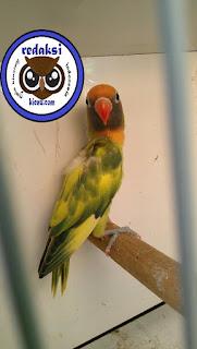 Hasil gambar untuk lovebird gs