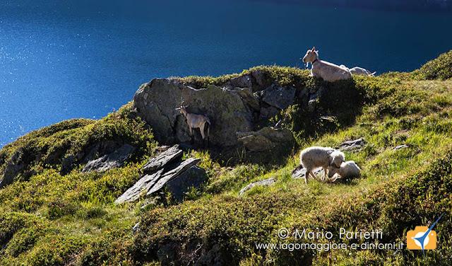 Capre e pecore al lago di Lucendro