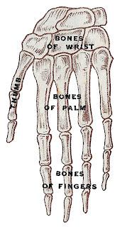 skeleton hand human image illustration anatomy clipart