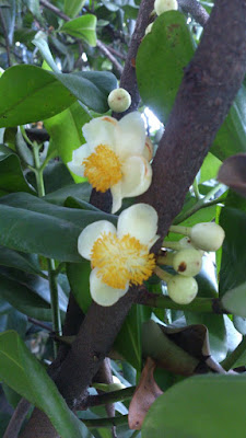 flor de mamey