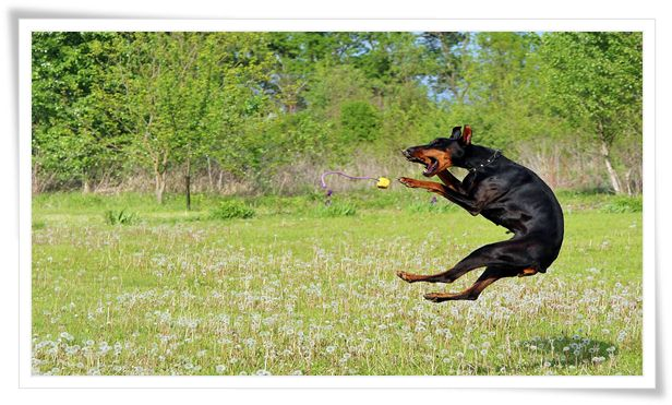 doberman,doberman training,dog training,doberman pinscher,doberman puppy training,training,guard dog,doberman training tips,doberman attack training,doberman pinscher training,dobermans,guard dogs,doberman dog,puppy training,dobermann,doberman dog training,training a doberman,doberman guard dog,doberman training puppy,doberman training attack,doberman hund,doberman training obedience,training doberman pinschers,doberman training protection