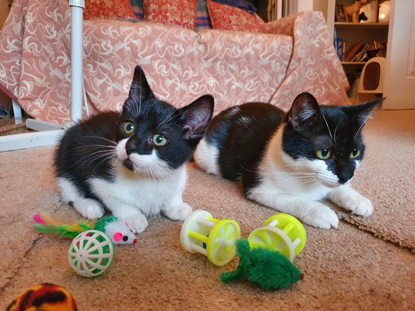 two black-and-white cats sitting on carpet with a bunch of cats toys nearby