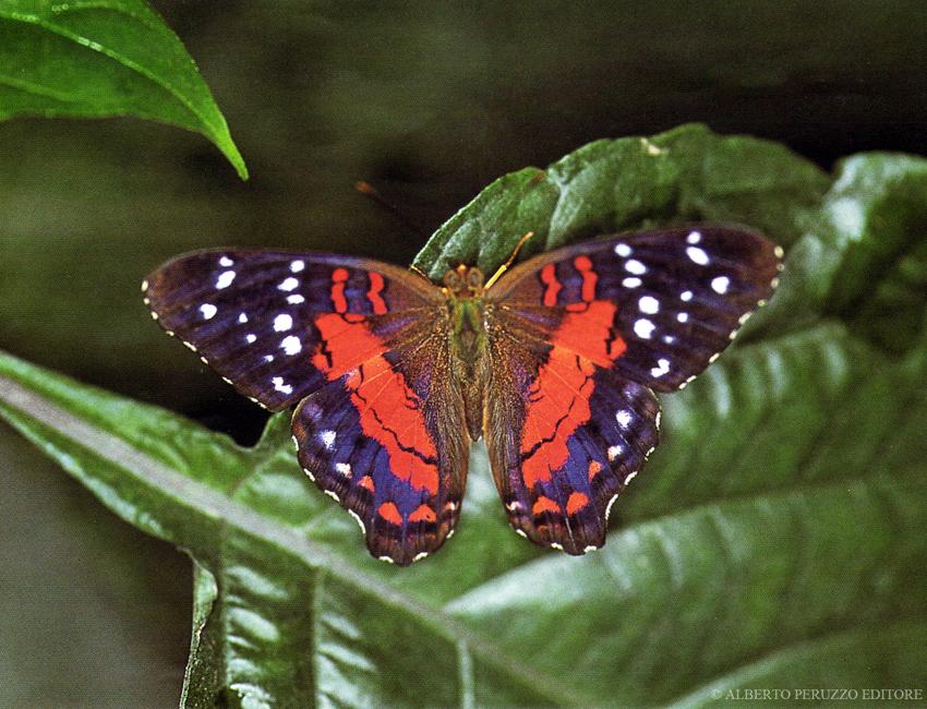 Universo dei lepidotteri 47 kallima inachus for Foto farfalle colorate