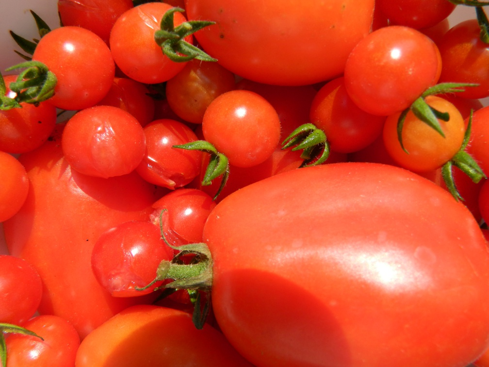 Plum cherry tomatoes detail ecological gardening by garden muses-a Toronto gardening blog