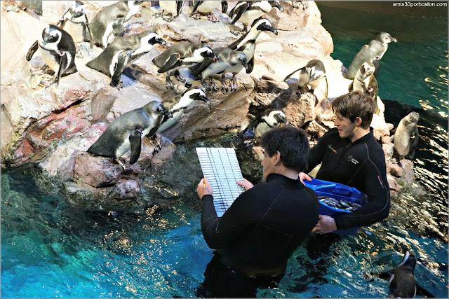 Pingüinos Africanos en el Acuario de Boston