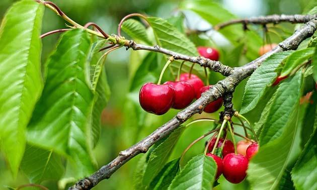 Cereja (Prunus avium L. (Cereja doce) Prunus cerasus L. (Cereja Ácida).