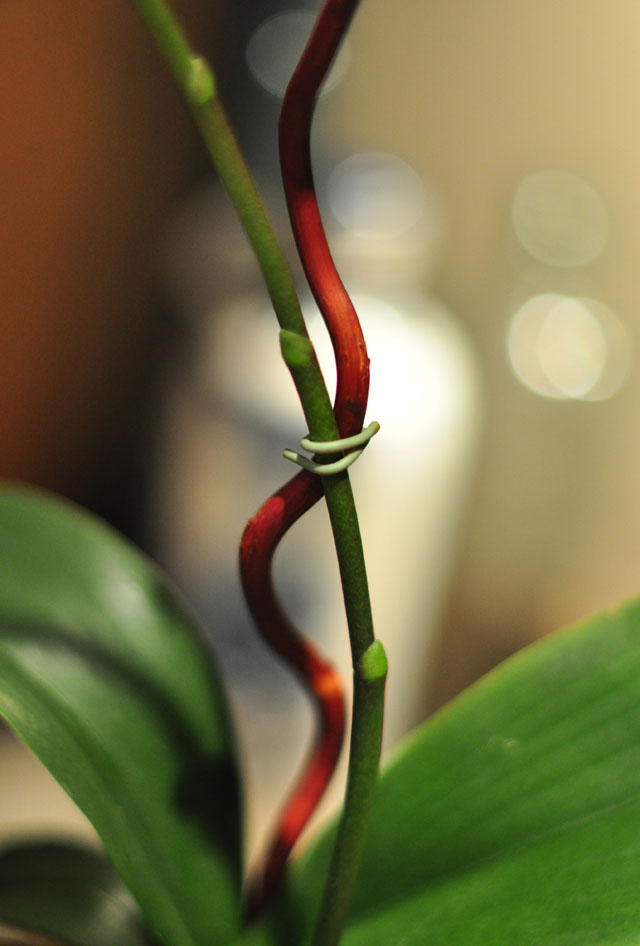 regrow your orchids