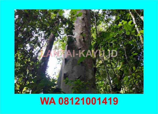 Mengenal pohon kayu kempas