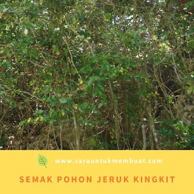 Semak Pohon Jeruk Kingkit