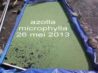 cara budi daya perkembangan bibit azolla microphylla sangat cepat dan mudah