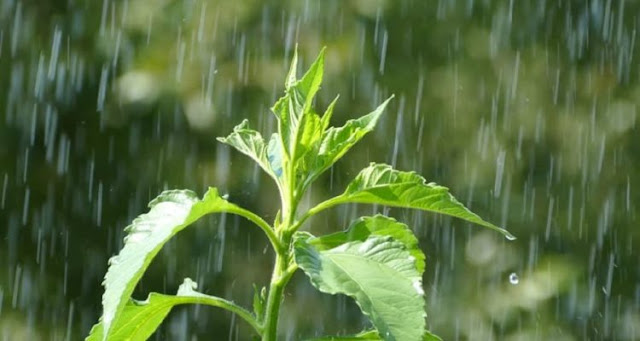 """In contact with rain, plants activate a """"panic"""" reaction"""