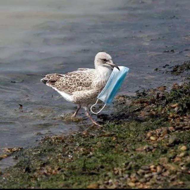 SOS Pinguim da Ilha alerta para a importância das pessoas cortarem o elástico das máscaras antes de jogarem no lixo