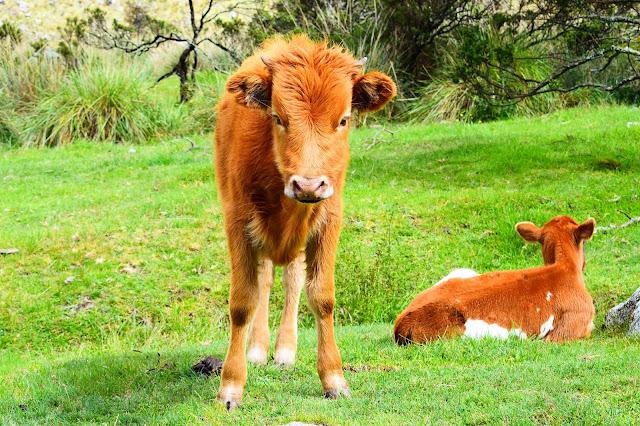 vaca marrom em um pasto verde