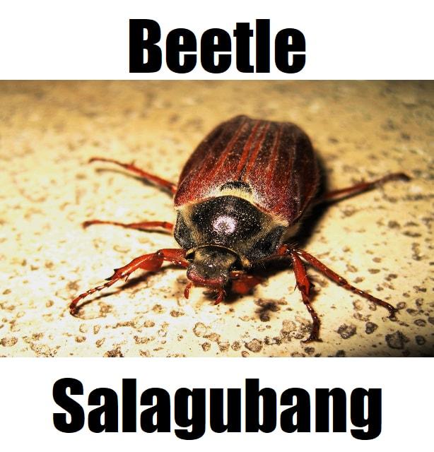 Beetle in Tagalog