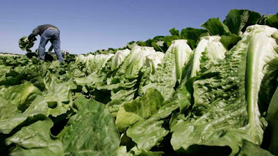 lethal romaine lettuce is happening in America and Canada